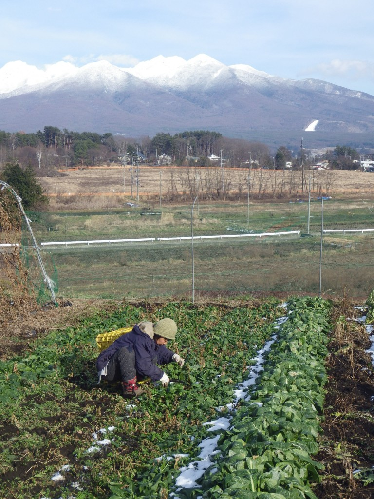 八ヶ岳が一望できる畑でホウレンソウの収穫(地面は凍ってました)